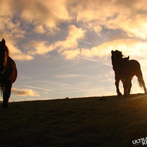 w-Pferde2